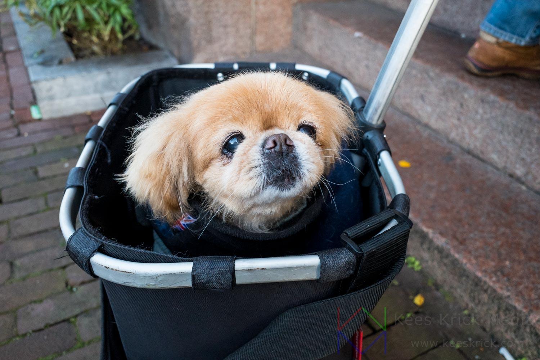 Amsterdam Hond In Karretje